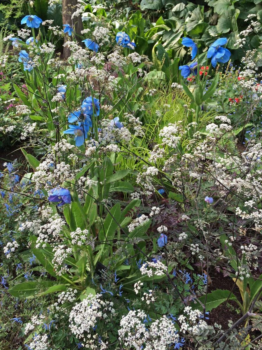 Blue poppies with companion plants