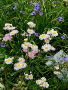 Daisies and spiderwort