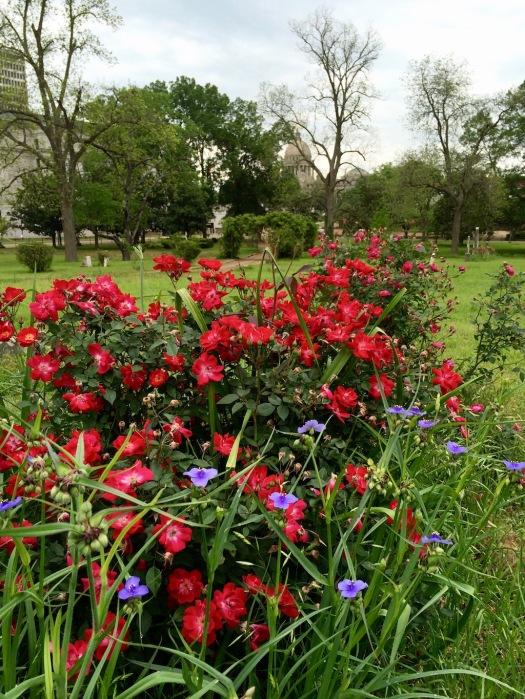 'Martha Gonzales' rose