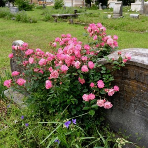 Pink cemetery rose