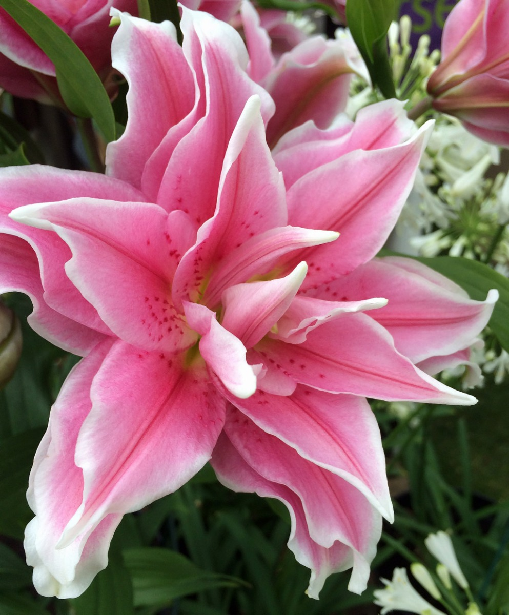 Pink roselily