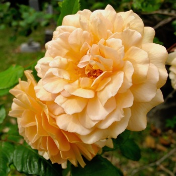 'Buff Beauty' Rose