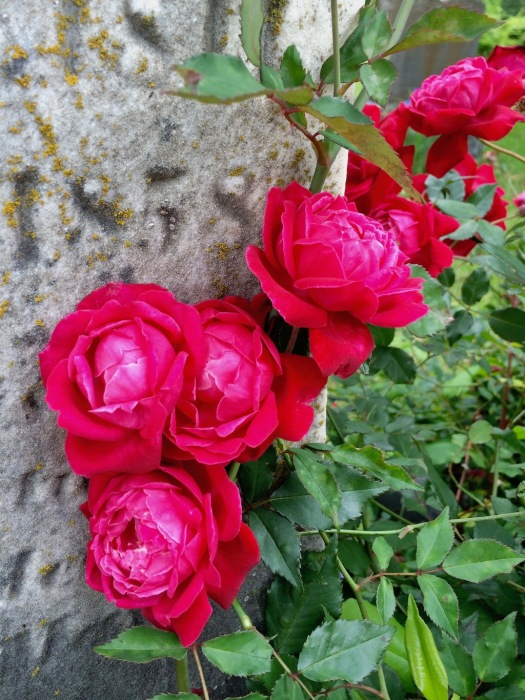 Roses growing against a gravestone