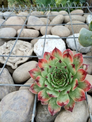 Succulent growing in a cage of rocks