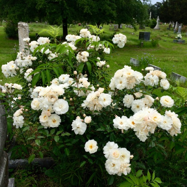 White cemetery rose