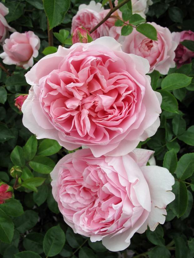 'Wildeve' rose cluster
