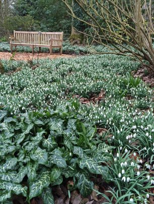 Ness Botanic Garden Snowdrops