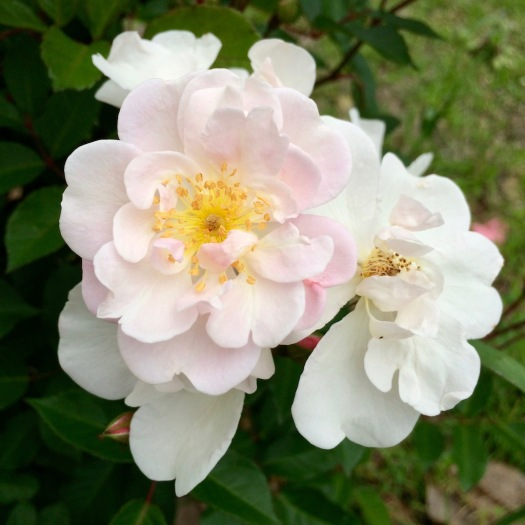Shell Pink Roses