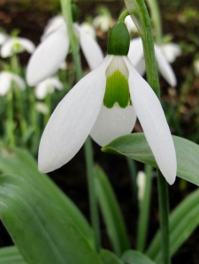 Snowdrop with large green heart