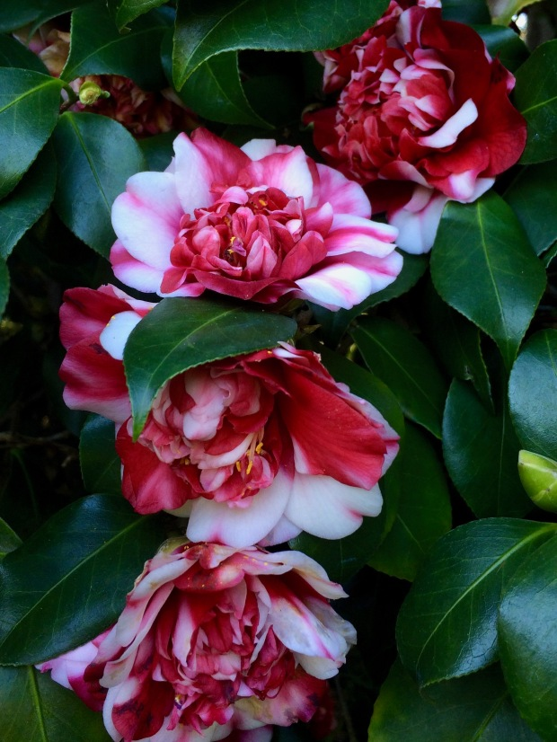 Camellia 'Marchioness of Salisbury'