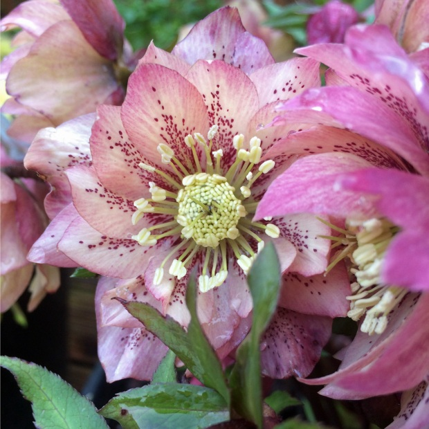 Hellebore spotted double