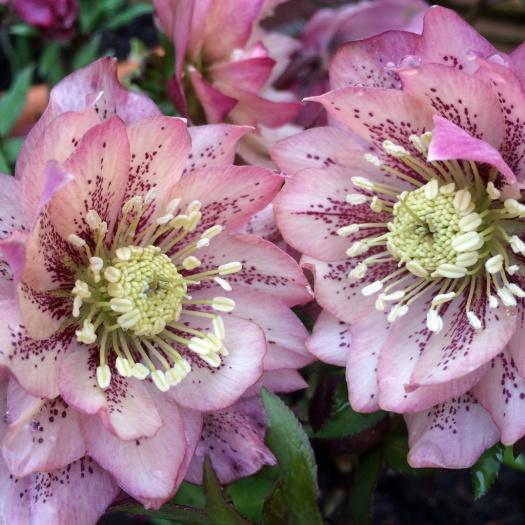 Helleborus x hybridus Ashwood Garden Hybrid - spotted double
