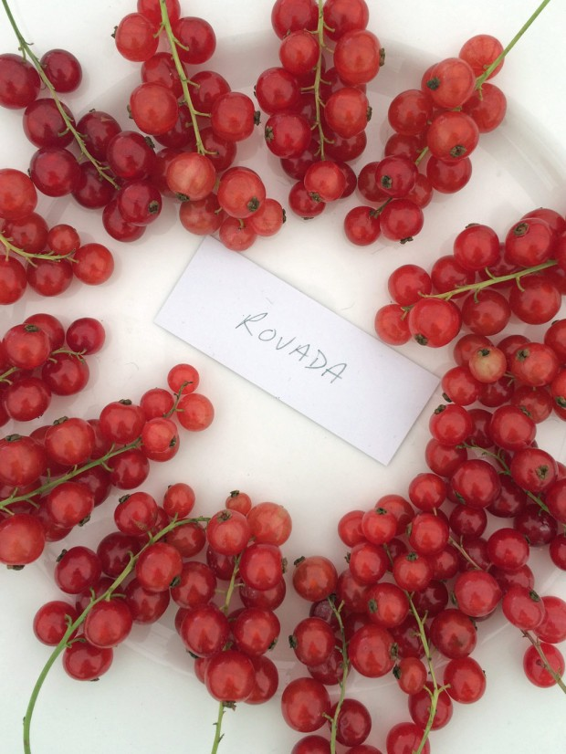 Rovada red currants
