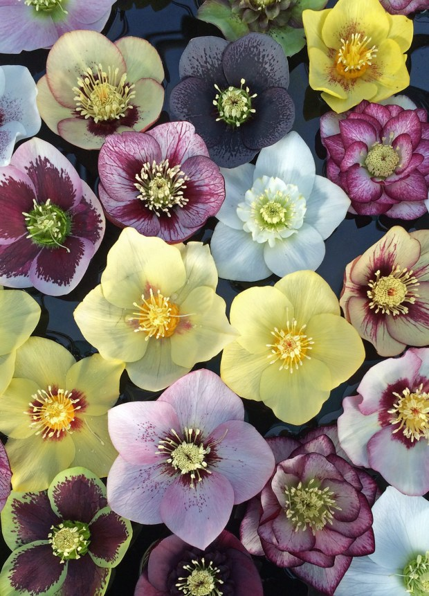 Floating hellebore flowers