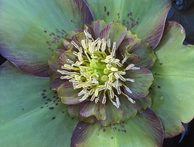 Unusual green semi-double hellebore