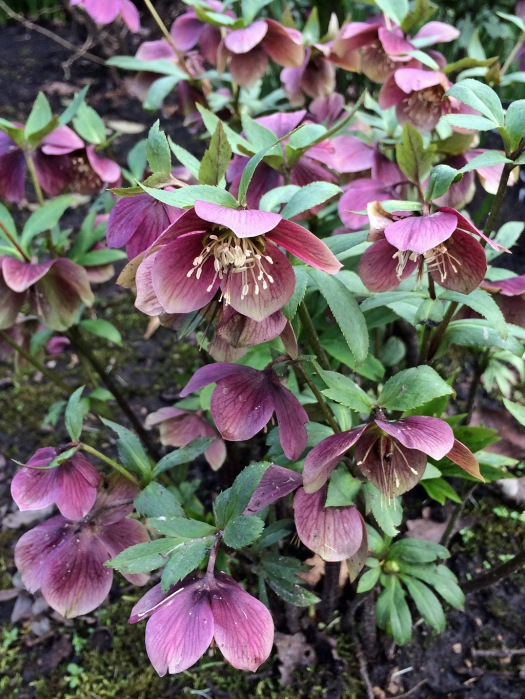 Helleborus 'Queen Of The Night'