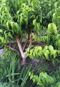 Heptacodium miconioides against a dry stone wall