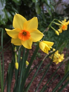Orange centered daffodil
