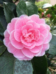 Pink Double Camellia