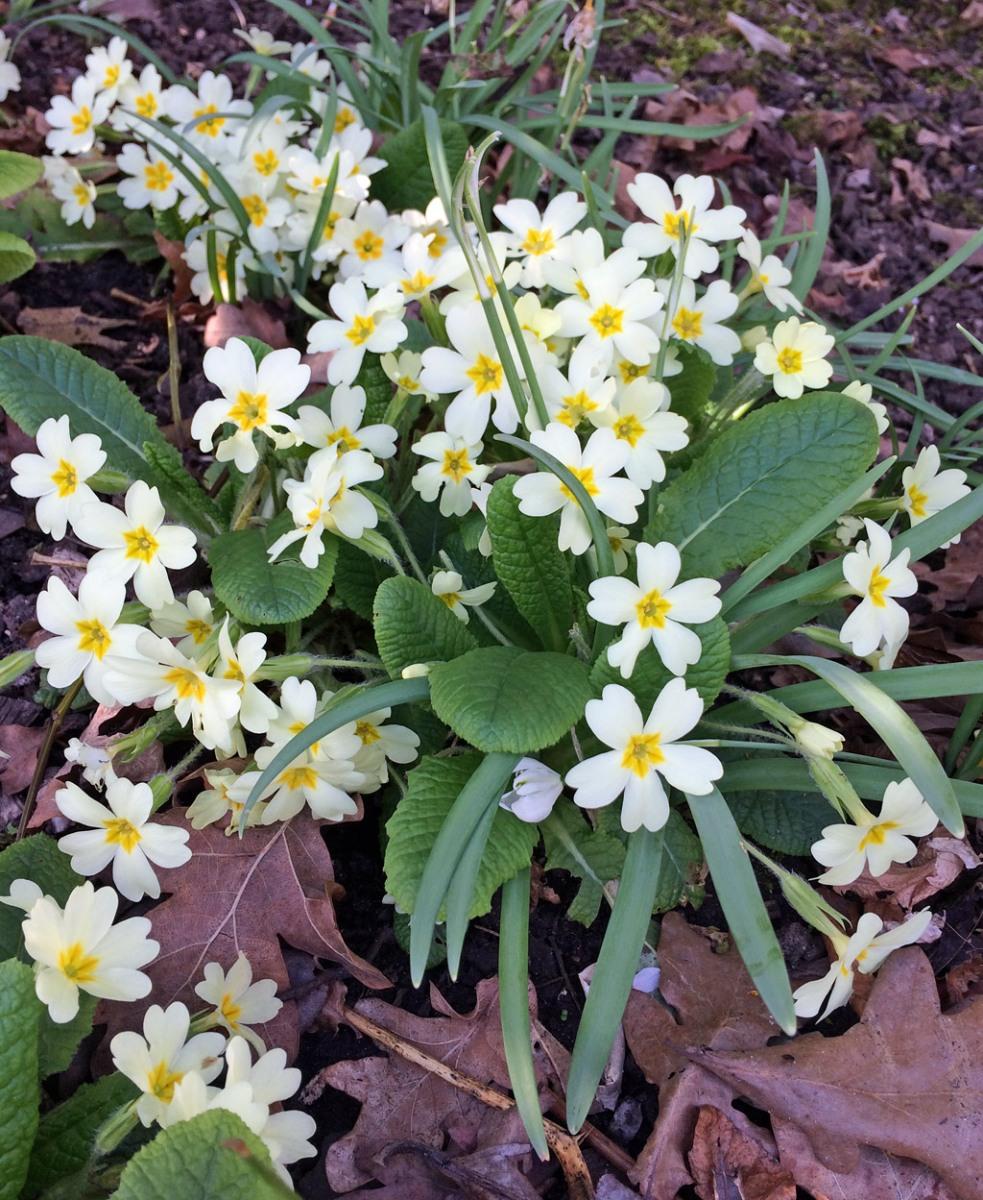Common primrose | Primula vulgaris