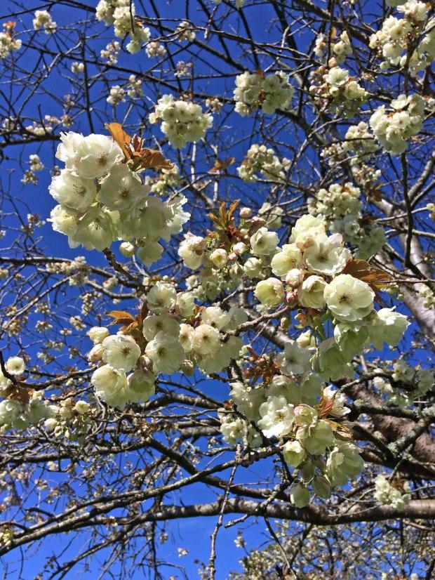 Blossom overhead