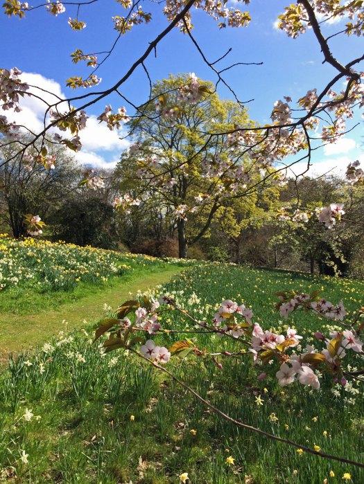 Bodnant daffodil walk