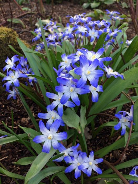 Chionodoxa luciliae 'Blue Giant'