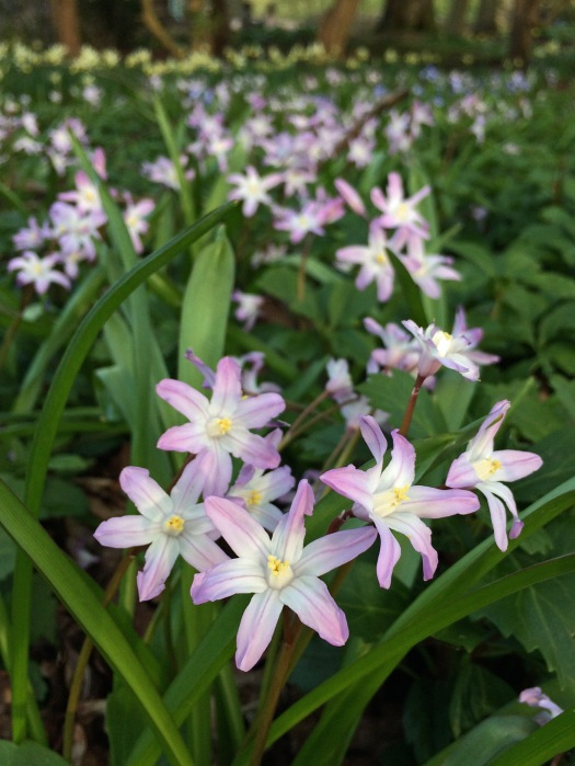 Chionodoxa 'Pink Giant' (glory-of-the-snow)
