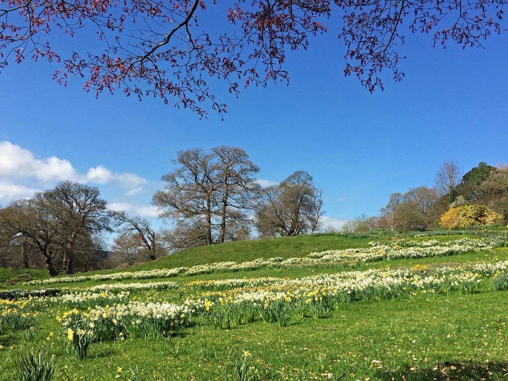 Field Of Daffodils. U201c