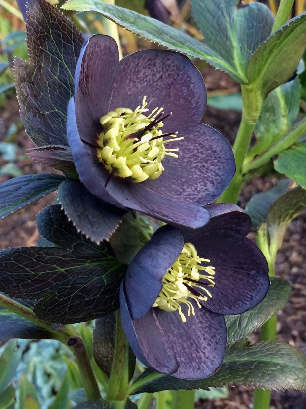 Hellebore Slate Ashwood Garden Hybrid