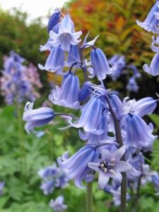 Bluebells at Dorothy Clive Garden