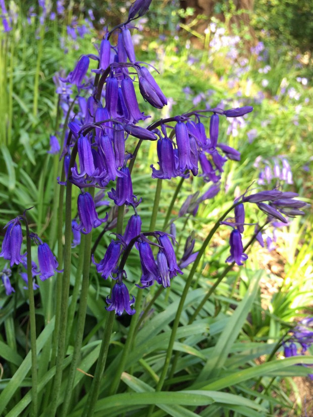 English Bluebells at Sunnyhurst Wood
