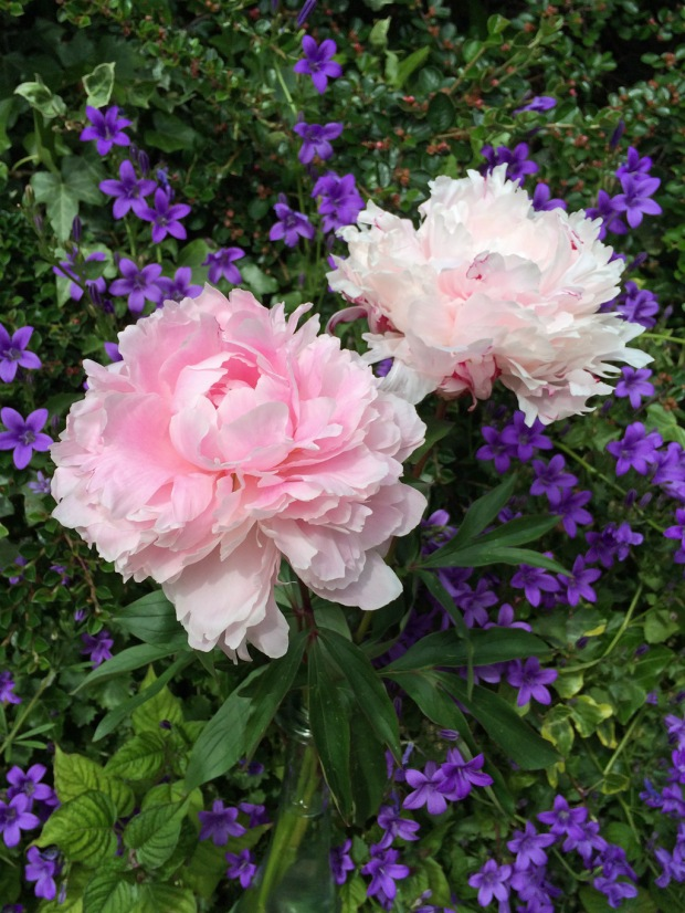 Peonies with a campanula backdrop