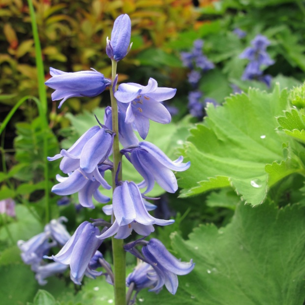 Spanish bluebell in a garden