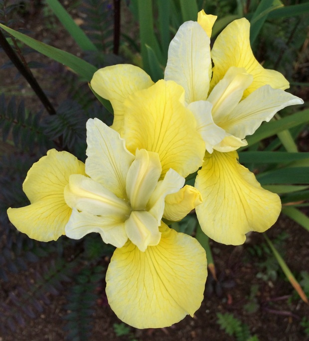 Iris with yellow outer petals and pale yellow inner petals
