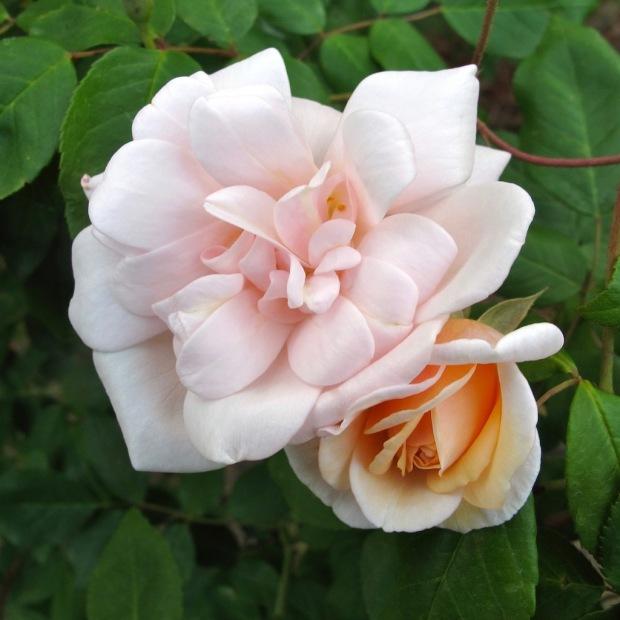 Rose with rosebud