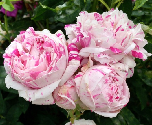 Striped roses