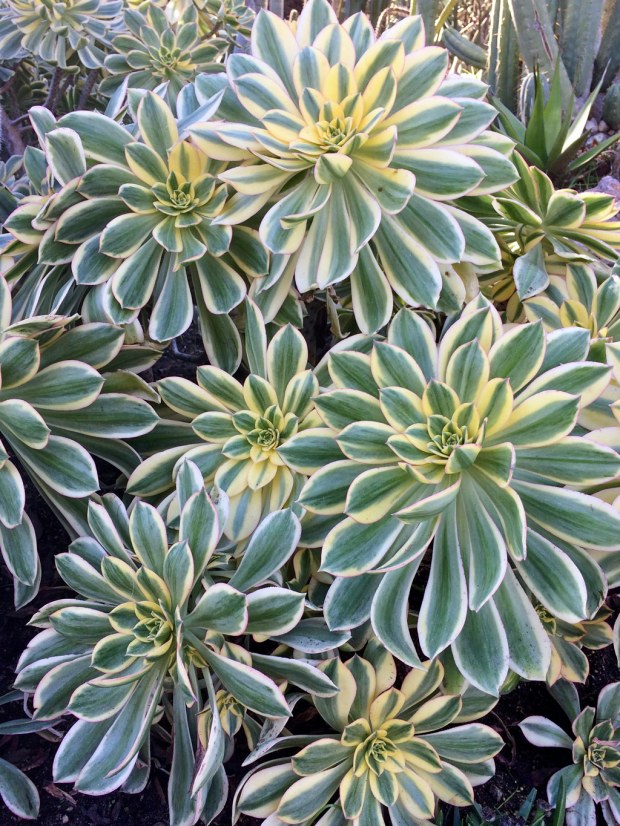Aeonium 'Sunburst' (group)