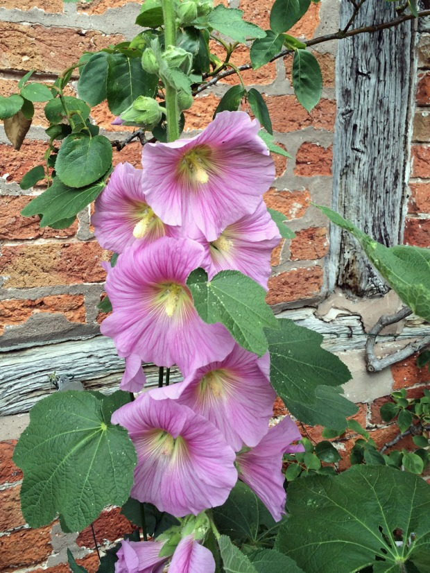 Pink hollyhocks against a timber framed wall