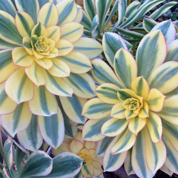 Variegated Aeonium 'Sunburst'
