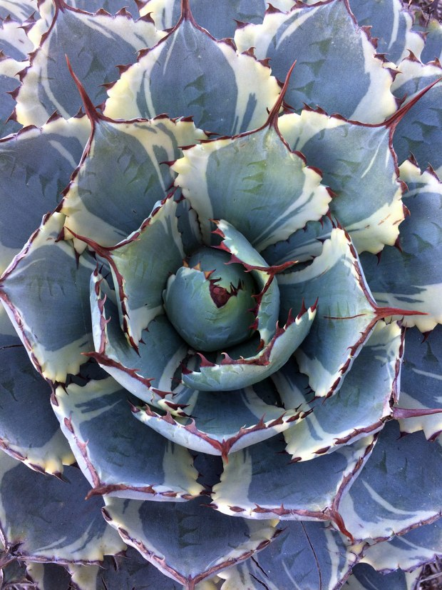 Variegated succulent with spines