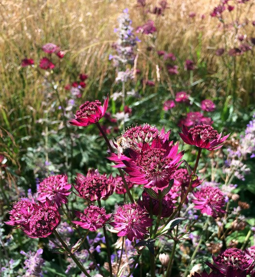 Astrantia at Scampston Hall Gardens