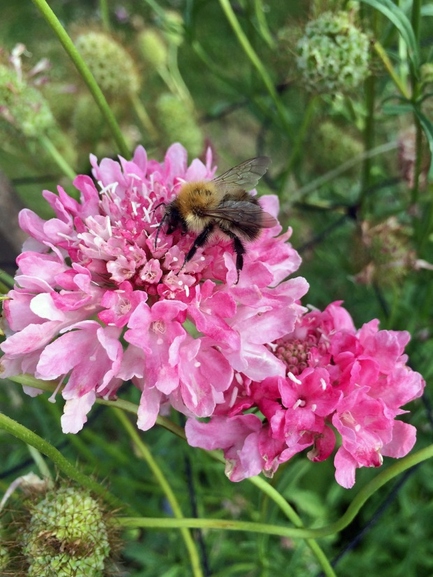 Bee on pink scabious