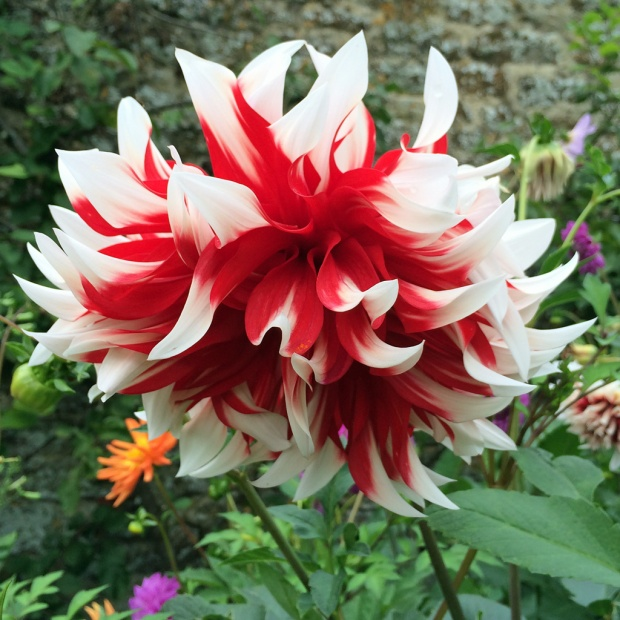 Fancy red and white dahlia