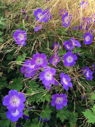 Hardy geraniums and ornamental grass
