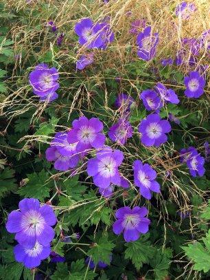 Hardy geraniums and ornamental grass