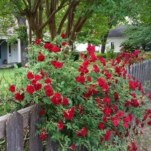 Rosa 'Red Cascade'
