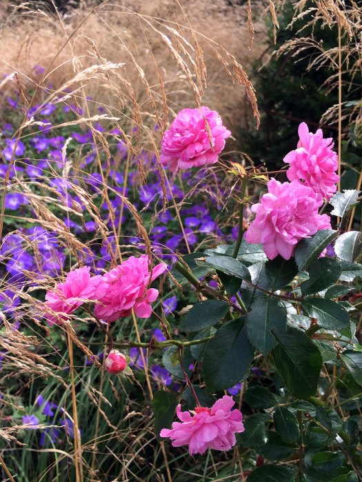 Roses growing naturalistically with grasses