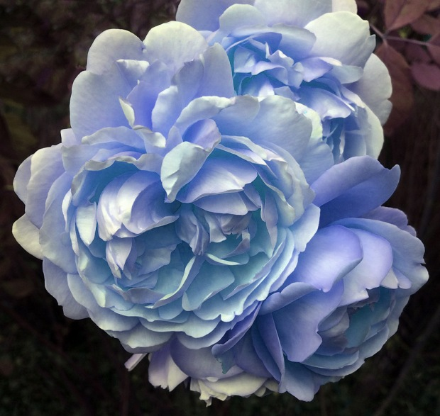 A digitally modified rose, turned blue