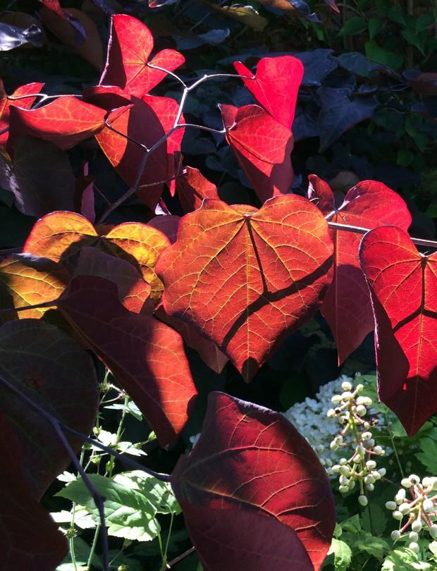 Burgundy Leaves Backlit